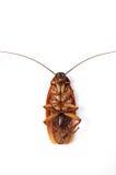Roach Royalty Free Stock Photos