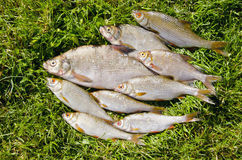 Roach bream whip fishes caught lake fishing catch Stock Photos