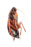 Roach bug isolated Royalty Free Stock Image