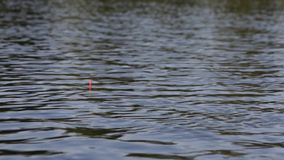 Roach fish biting on fishing rod stock video