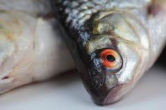 Roach fish. Royalty Free Stock Photos