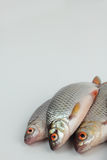 Roach fish. Royalty Free Stock Images