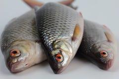 Roach fish. Stock Photo