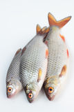 Roach fish. Royalty Free Stock Photo