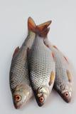 Roach fish. Stock Photography