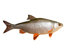 Roach fish isolated on white background Stock Photos