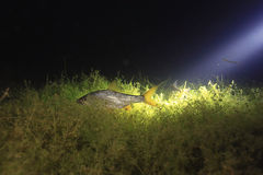 Roach fish in night river Stock Images