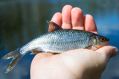 Roach fishing trophy Stock Photography