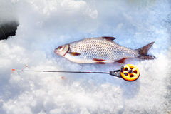 Roach and ice fishing Royalty Free Stock Photo