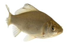 Roach - isolated on white background. Live fish photo in aquarium Stock Photography