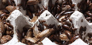 Roaches Stock Photo