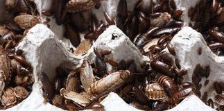 Roaches Στοκ Εικόνες