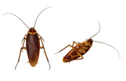Roaches Isolated Royalty Free Stock Photos