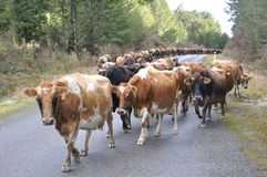 On the road. Jersey cows on the main road, walking between farms, Westland, New Zealand Stock Image