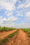 Road. Summer landscape with sugar cane, road and clouds stock image