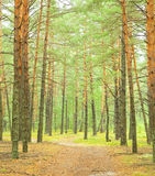 Road. In the pine forest royalty free stock image