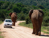On the road. Elephants in addo elephant national park Royalty Free Stock Images