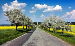 road, alley of apple tree, field of rapeseed stock photo