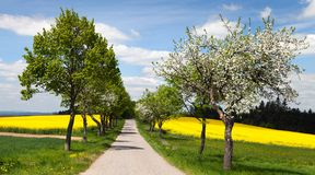 Road, alley of apple tree, field of rapeseed Stock Images