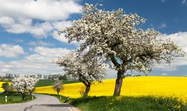 Road with alley of apple tree and rapeseed field Royalty Free Stock Image