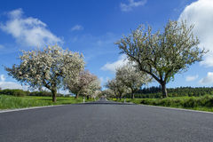 Road with alley of cherry trees in bloom Royalty Free Stock Image
