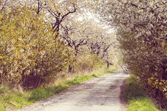 Road with alley of cherry trees in bloom. Spring rural road with alley of cherry trees in bloom Royalty Free Stock Images