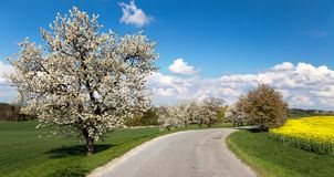 Road and alley of flowering cherry-trees Stock Photography