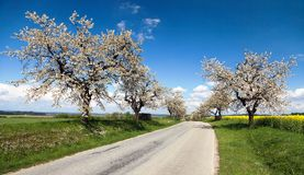 Road and alley of flowering cherry-trees Royalty Free Stock Images
