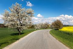 Road and alley of flowering cherry-trees Royalty Free Stock Photos
