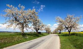 Road and alley of flowering cherry-trees Stock Images