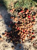 Road apples sit in the autumn sun. Noun; a fragrant fruit that grows on pavement. Seeds come from a horse`s rear end. The fruit is piled in moist sticky clumps royalty free stock photography