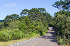Road and Araucaria angustifolia Forest Stock Photos