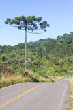 Road and Araucaria angustifolia Forest Stock Image