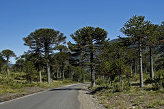 Trees in Chile royalty free stock images