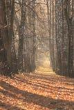Road in Autumn. Avenue of birches in autumn Stock Photos