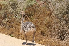 Baby ostrich taking a walk royalty free stock photography