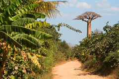 Road through baobab country Royalty Free Stock Photo