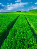 Road in a beautiful green field of wheat. Stock Photos