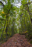 Road in Beech Forest and Oaks Stock Images