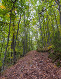 Road in Beech Forest and Robles Stock Photo