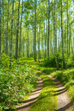 Road in birch forest Royalty Free Stock Photo
