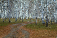 Road in birch forest in autumn Stock Images