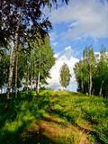The road in birch grove Royalty Free Stock Images