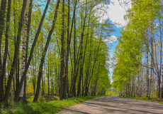 Road with birch trees in the young green leaves in spring sunny day Royalty Free Stock Photography