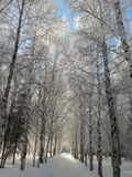The road between birches Stock Image