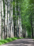 The road among birches in a sunny day Royalty Free Stock Photo