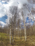 The road among birches Royalty Free Stock Photos