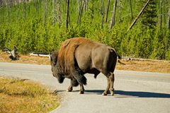 Road Bison Stock Photography