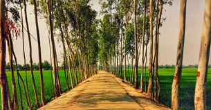 A Road and eucalyptus trees stock images