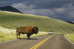 Road Buffalo Stock Photography
